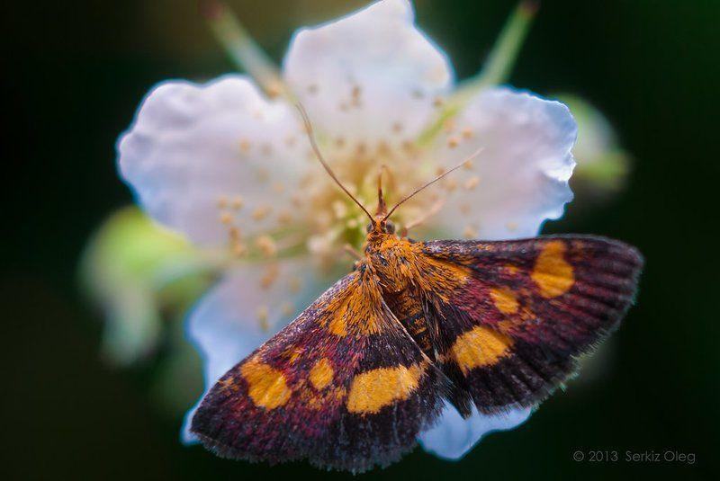 art, oleg serkiz, олег cеркиз ~Moth and flower~photo preview