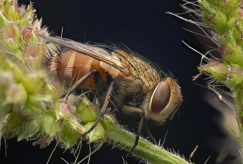 макро, муха, насекомые, макрофото, макромир мушка готовится ко снуphoto preview