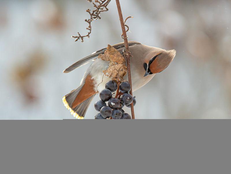 птицы,природа, зима Ну и как это съесть?photo preview