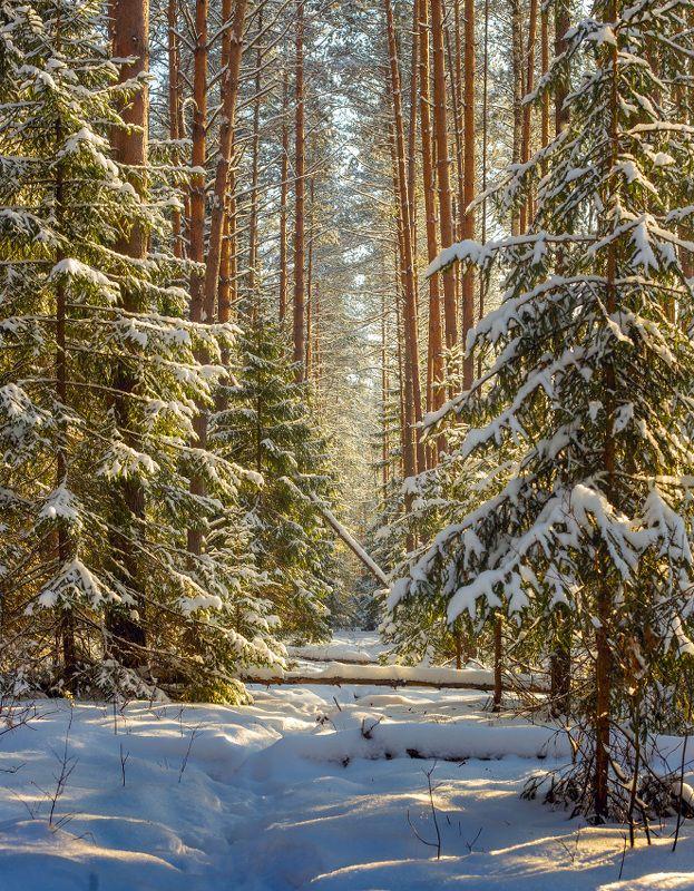 январь лес снег свет суходол Солнечный день.photo preview