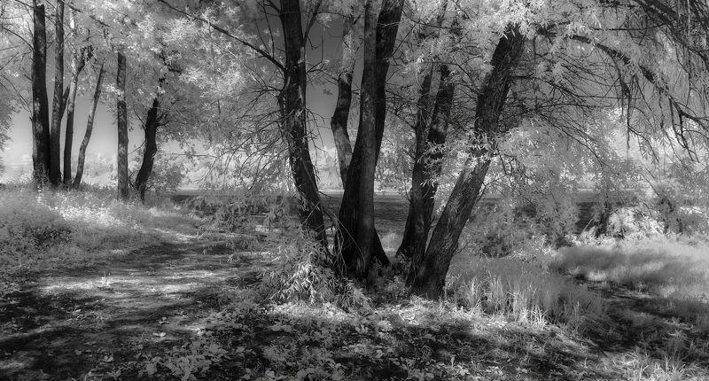 ивы, лето, река, инфракрасная фотография ч/б Старые ивы.photo preview