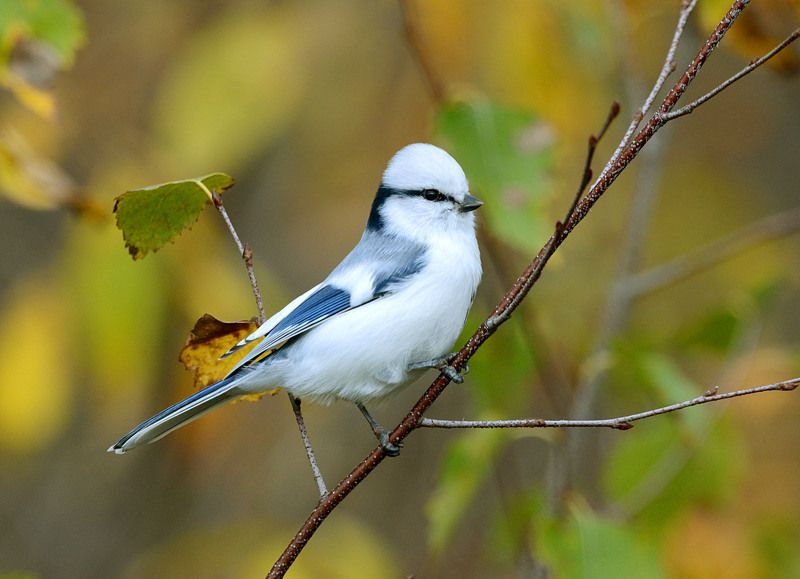 Осенняя белая лазоревка.photo preview