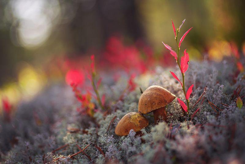 грибы, лес, брусника, корзинка, мухомор, боровик про грибочки и не толькоphoto preview