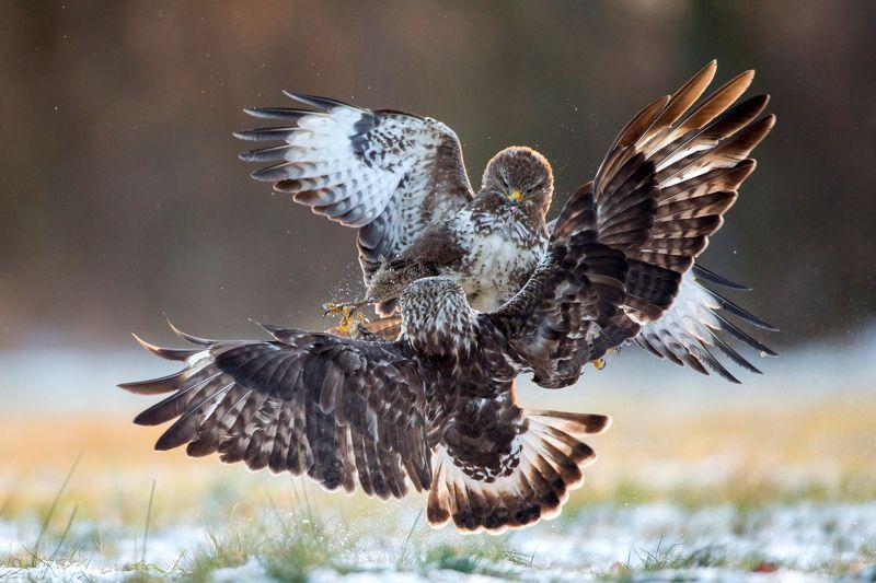 buteo, winter, bird, wild Fightphoto preview