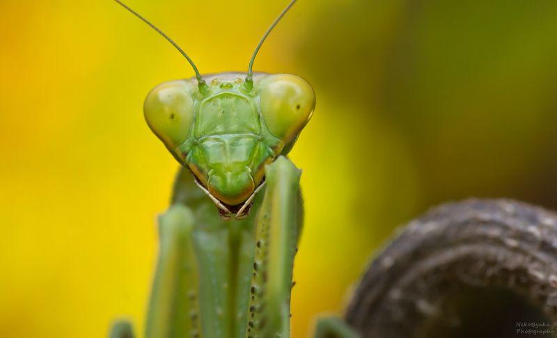 макро, природа, насекомые, богомол, боке, macro, nature, insects, praying mantis, bokeh, Богомолий фотосетphoto preview