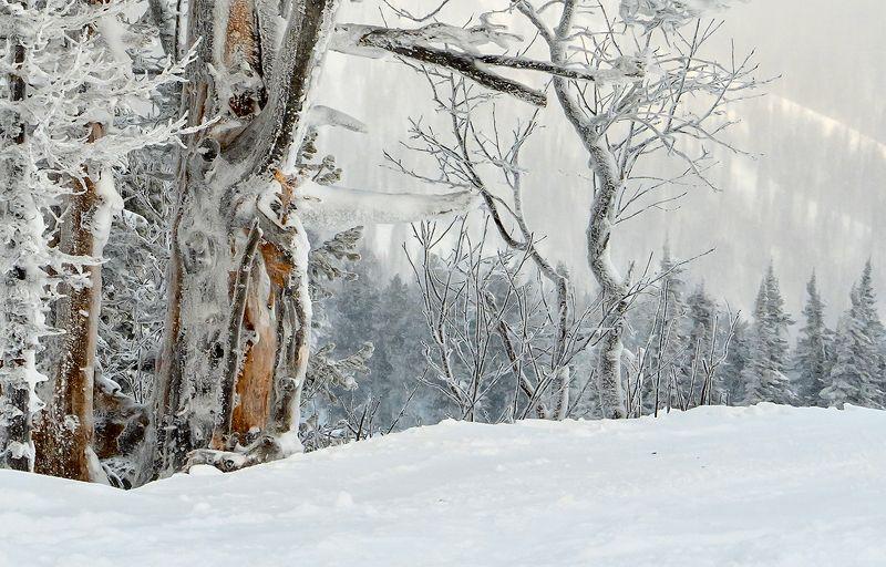 снег, иней, мороз, зима, пихты, кедры, облачность, туман, гора зелёная, шерегеш, горная шория, сибирь Жизнь после смерти...photo preview