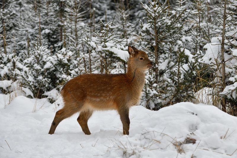 лес,животные,оленёнок,рыжик ***photo preview