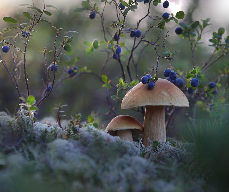 нерюнгри, голубика, якутия, белый_гриб, боровик, Беленькиеphoto preview