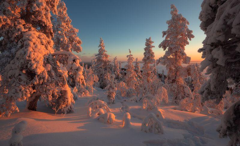 пейзаж,апатиты,кольский,север,закат,свет,лес,снег Ёлочки нежатся на солнышкеphoto preview