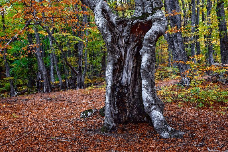Крым, лес, осень, деревья, пейзаж В буковом лесуphoto preview