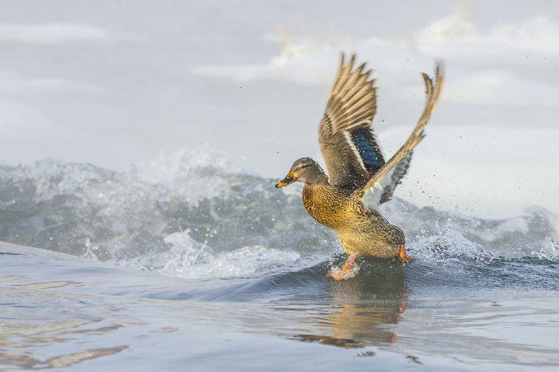 утка, кряква,  птица По воде, аки посуху...photo preview