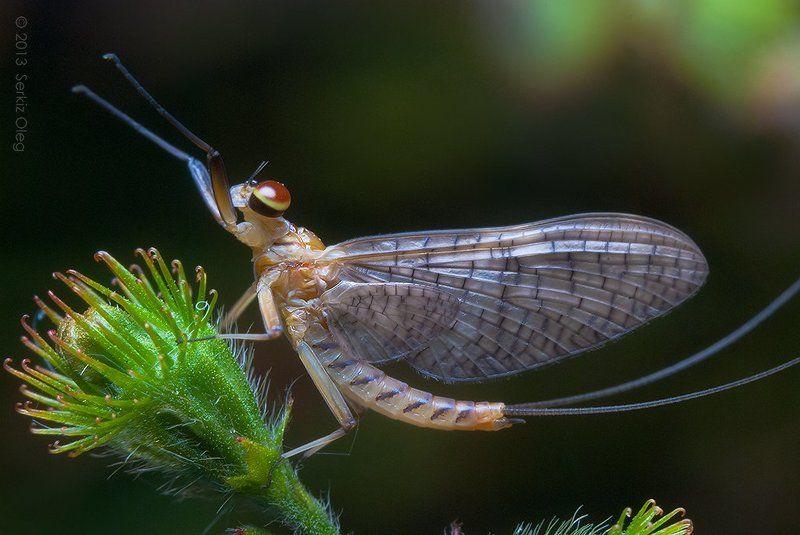 Mayfly (Ephemeroptera)photo preview
