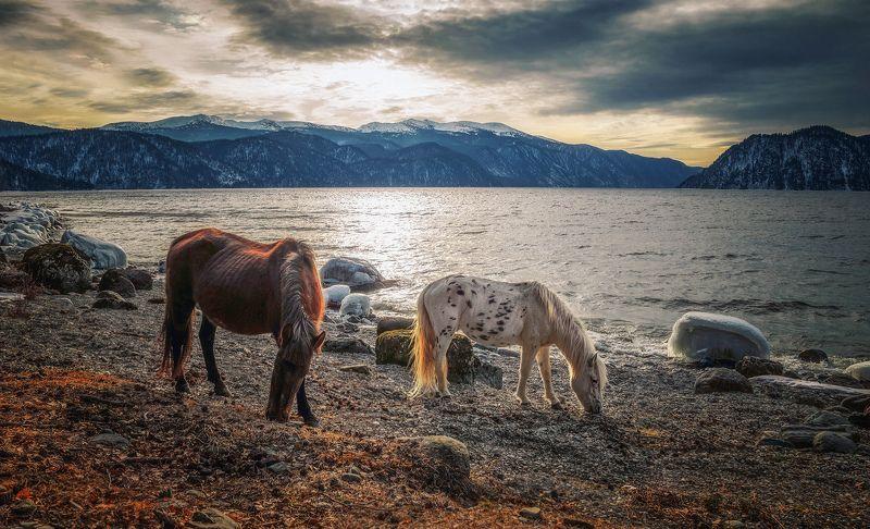 горный алтай,телецкое озеро,берег,лошади,зима На холодном берегу...photo preview