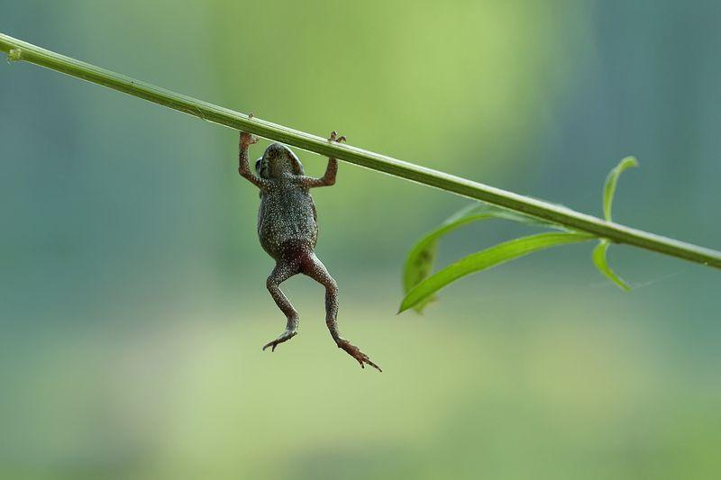 макро, лягушка, лето, спорт, macro, frog Подтягивания на перекладинеphoto preview