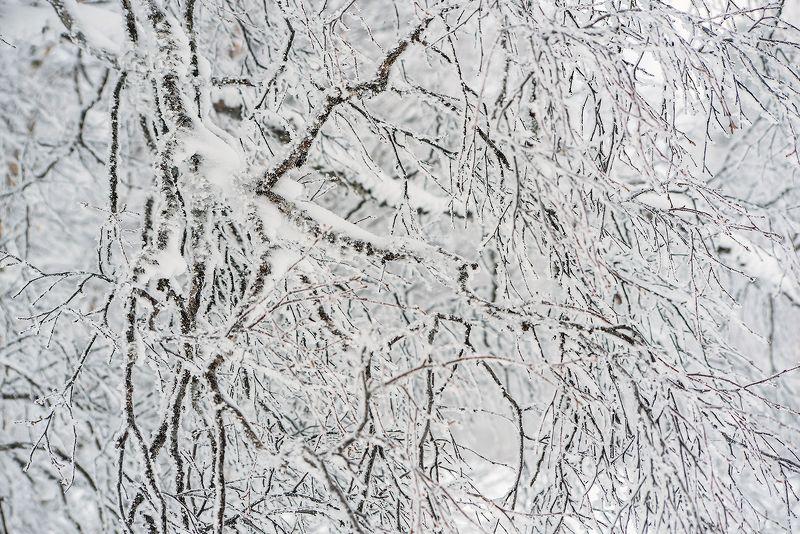 береза, ветки берёзы, иней, мороз, зима, облачность, туман, гора зелёная, шерегеш, горная шория, сибирь Pro берёзовые кружева ...photo preview