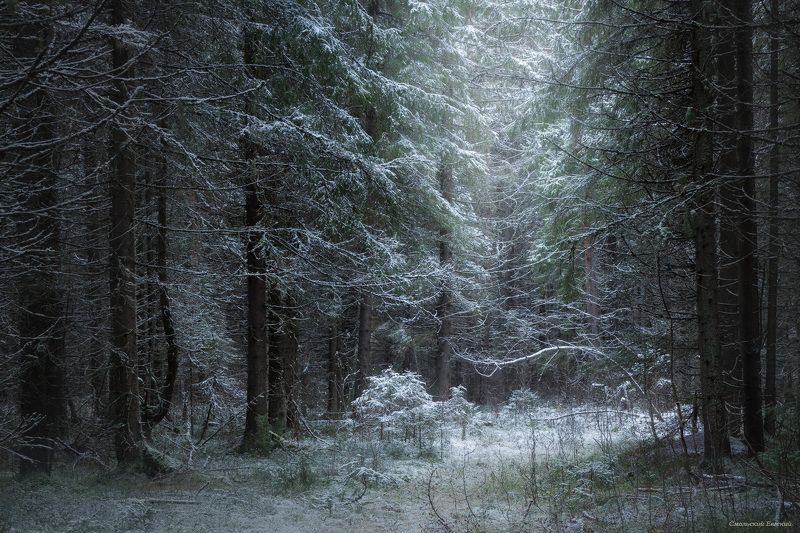 лес, ельник, снегопад В пушистом снегуphoto preview
