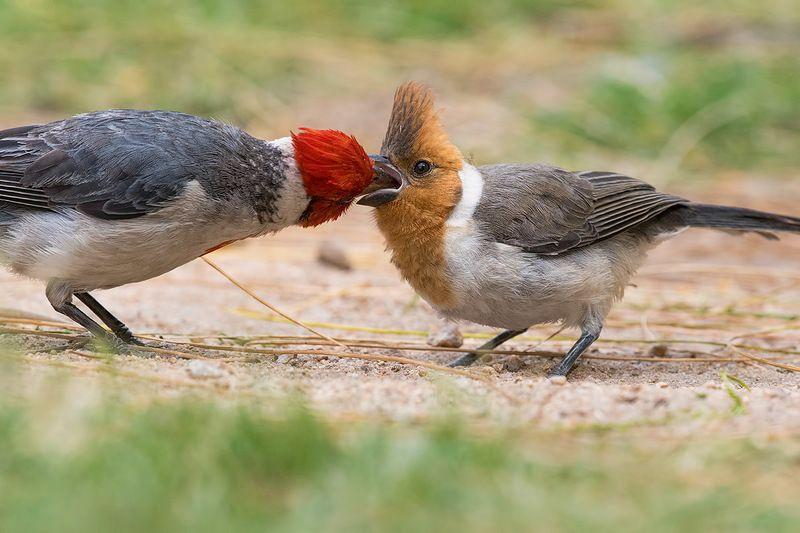 птицы, уругвай Кардиналы и их детиphoto preview