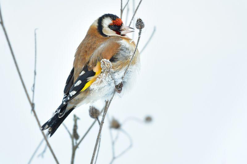 природа  птица Щеголphoto preview