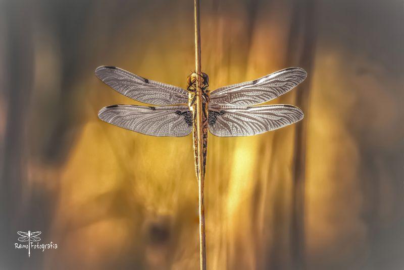 Ważka czteroplama- Libellula quadrimaculata.photo preview
