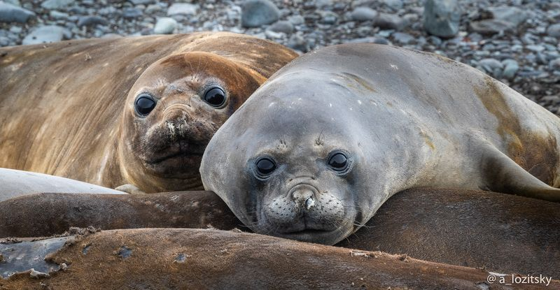 Морские слоны, Антарктидаphoto preview