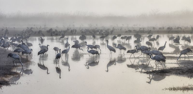 Cranes in the Fogphoto preview