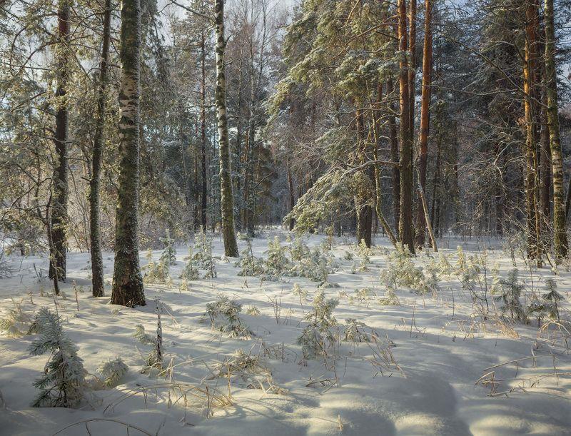 лес снег опушка февраль Лесной этюдphoto preview