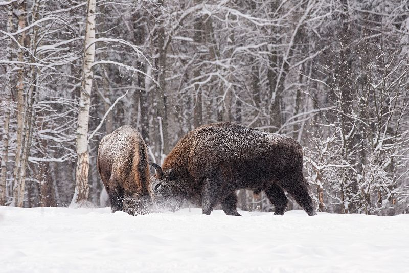 калужские засеки, заповедник, дикая природа, зубр, европейский зубр, wildlife, european bison, bison, nature, зубков игорь Играphoto preview