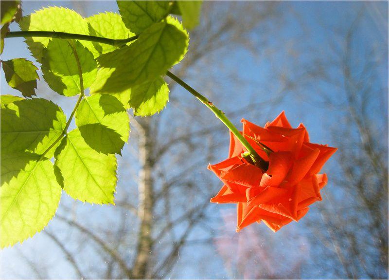 роза Цветочек Аленькийphoto preview