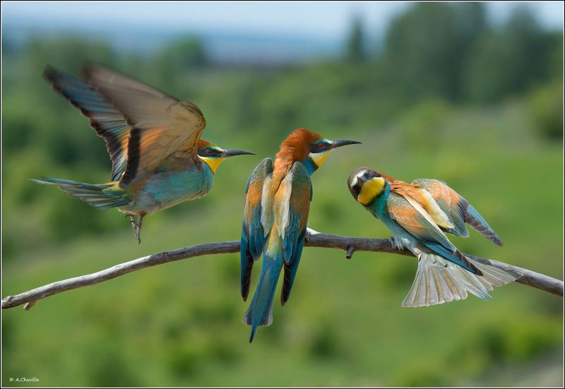 птицы,щурки,три,грации Три грации )photo preview