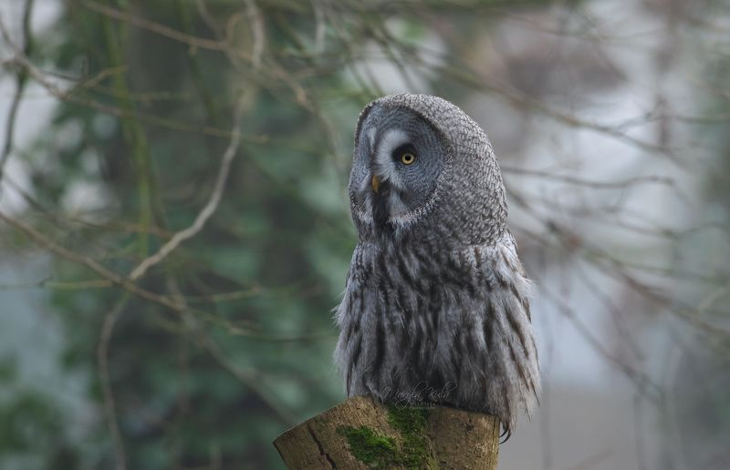 great grey owl, owl, birds, birds of prey, nature, wildlife Great Grey Owlphoto preview