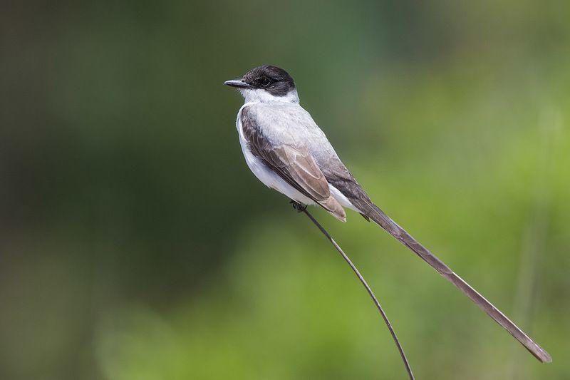 птицы, уругвай Длиннохвостыйphoto preview