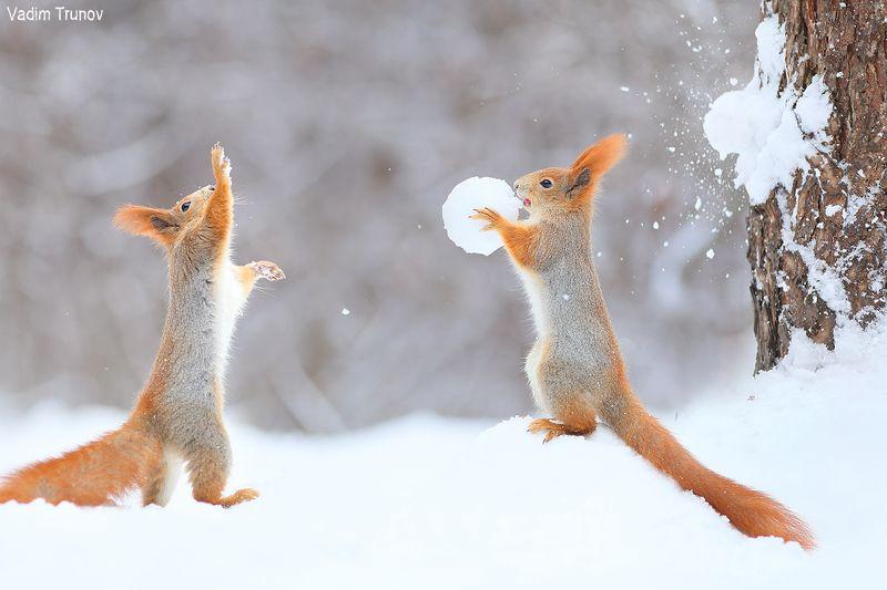 белка, squirrel, игра в снежки Мимо, промазал!photo preview