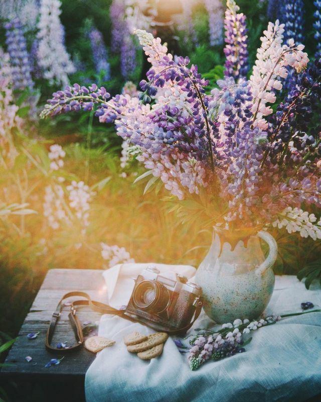 лето, люпины, закат, природа photo preview