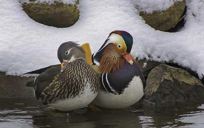 птицы, мандаринки, зима Кокетствоphoto preview