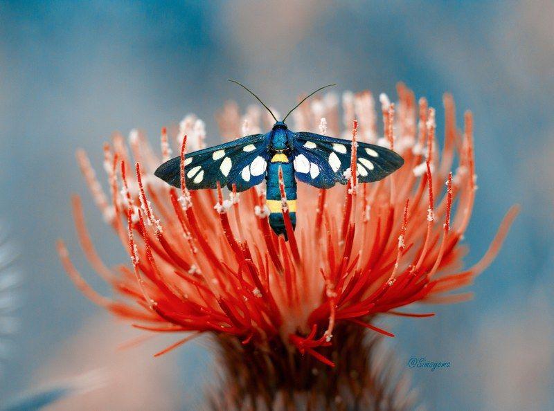 макро, природа, nature, macro, насекомые, insect, бабочка, бабочки Лжепестрянка обыкновеннаяphoto preview