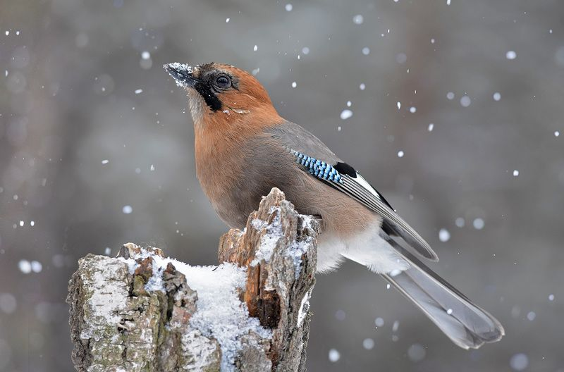 сойка,снегопад,пень,бор,зима Опять снег...photo preview