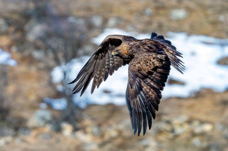 Golden eagle /Aquila chrysaetos/...photo preview