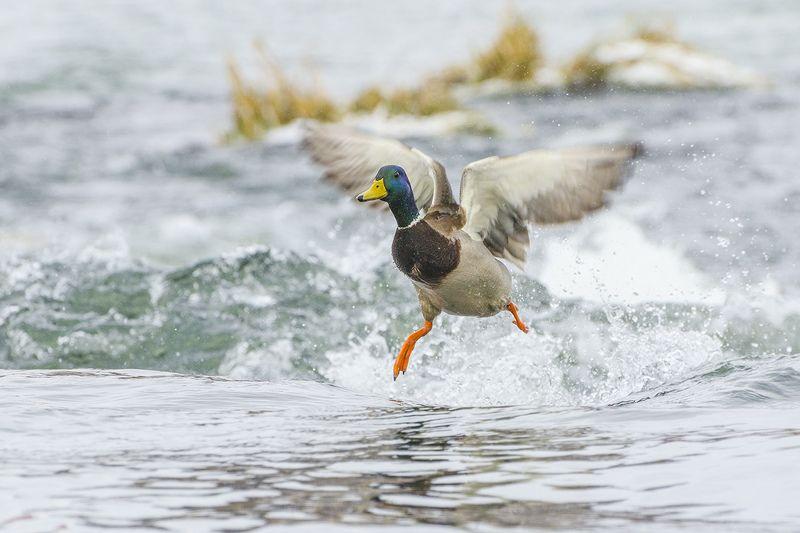 птица, утка, кряква, селезень Летящей походкойphoto preview