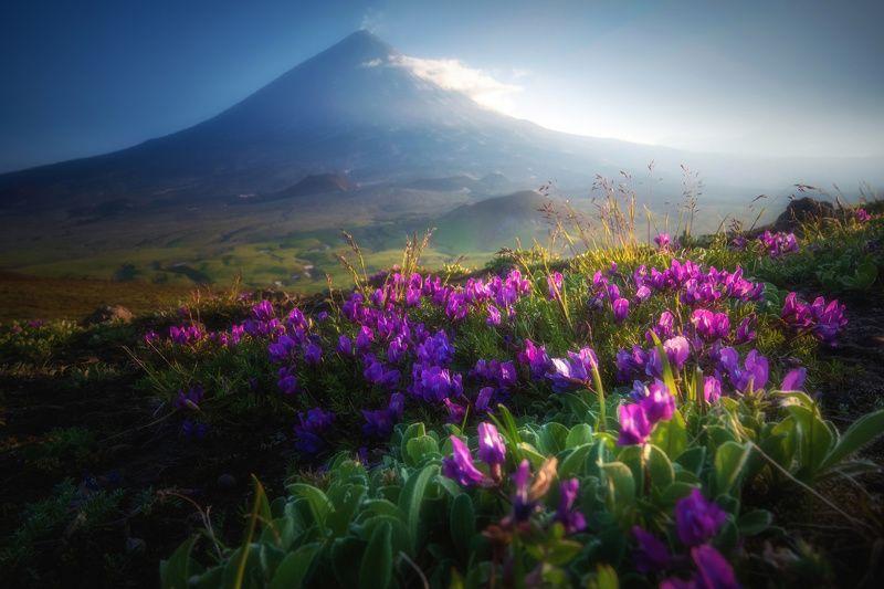 камчатка,ключевская,цветы,вулкан,kamchatka,vulkan вечер у Ключевскойphoto preview