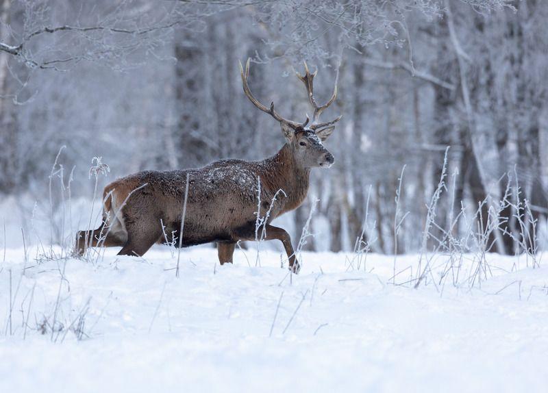олень, снег, рога, В зимней тишинеphoto preview