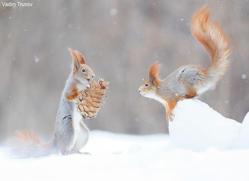 белка, шишка, squirrel Белки и шишкаphoto preview