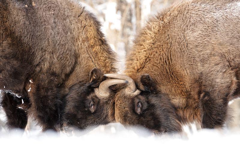 калужские засеки, заповедник, дикая природа, зубр, европейский зубр, wildlife, european bison, bison, nature, зубков игорь Молодежьphoto preview