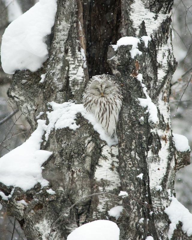 длиннохвостая неясыть Зимний сонphoto preview