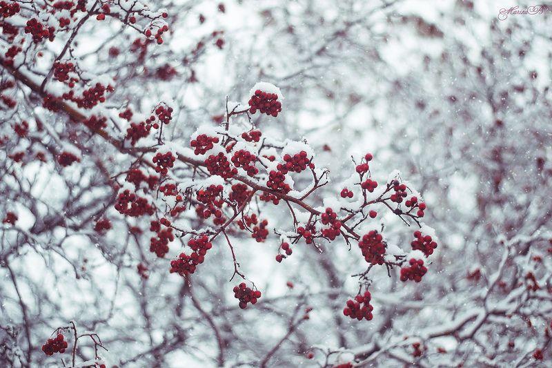 зима, снег, рябина Про костры зимних рябинphoto preview