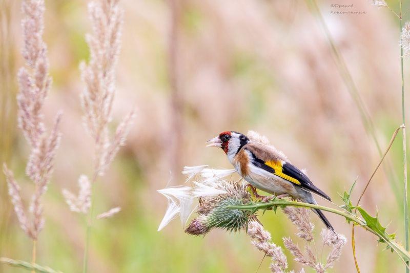 щегол, птицы, фотоохота Щеголphoto preview