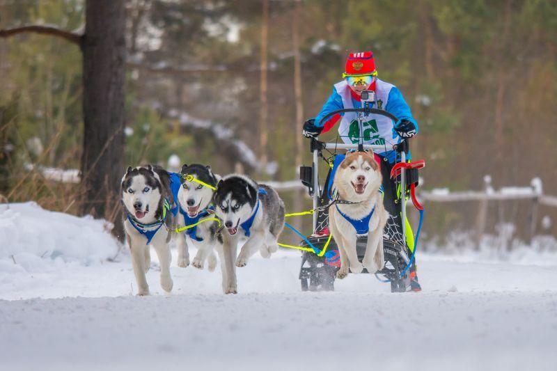 собаки спорт упряжки зима Едва касаясьphoto preview