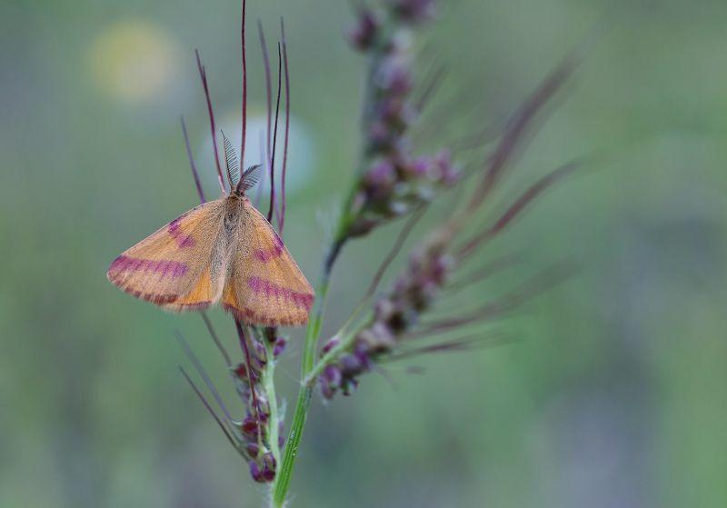 Бабочка Пяденица пурпурнаяphoto preview