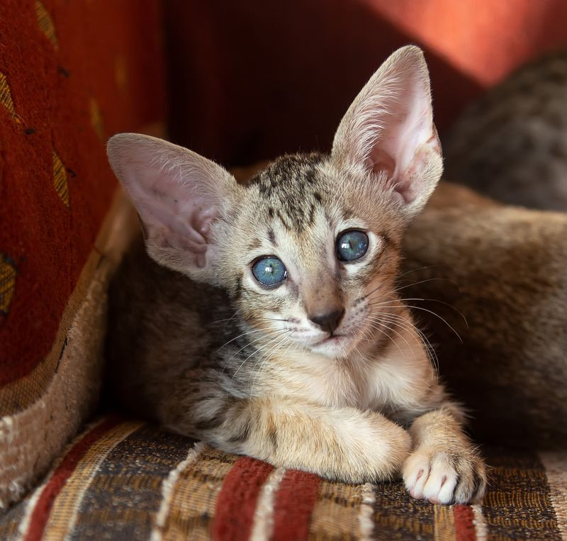 кот, котенок, ориентал Голубые глазки....photo preview