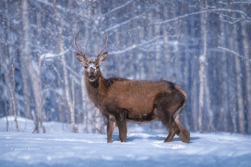 зима, олень, животные Припудрить носик... )photo preview