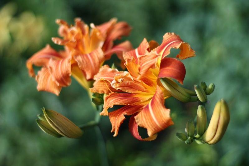цветы, лето, лилейник Кудрявый лилейникphoto preview